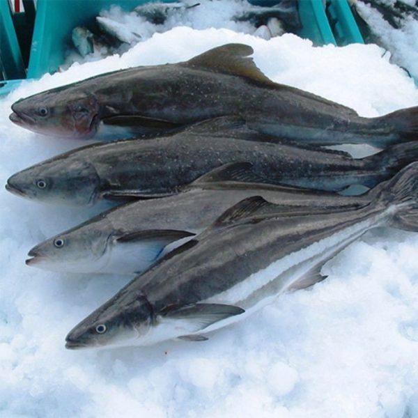 Cá bớp hay còn được gọi với cái tên khác là cá bóp