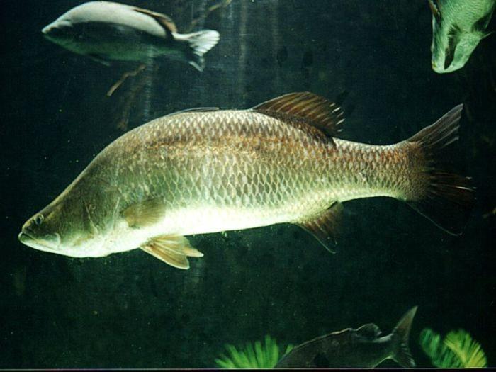Cá chẽm mang tên tiếng Anh là Lates calcarifer