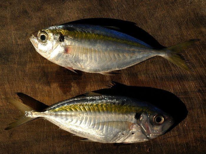 Cá chỉ vàng có phần lưng màu xanh óng ánh, bụng màu xám bạc