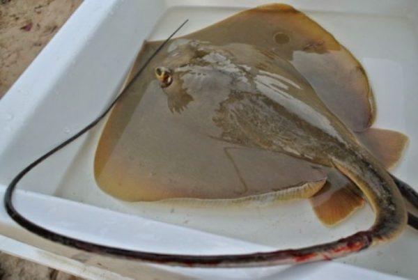 Cá đuối nghệ là loài sinh sống ở biển, có thân dẹt và bộ xương bằng sụn