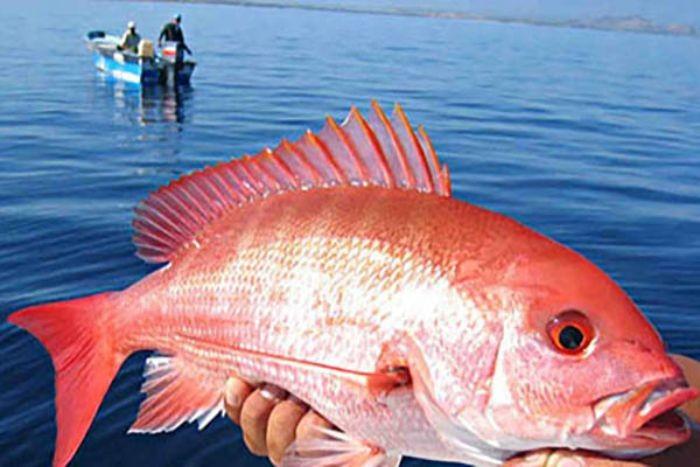 Cá hồng biển là loài cá có xương mang danh pháp là Lutjanus sanguineus