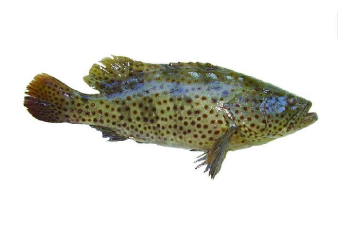 Cá mú hay còn được gọi với một cái tên khác là cá song