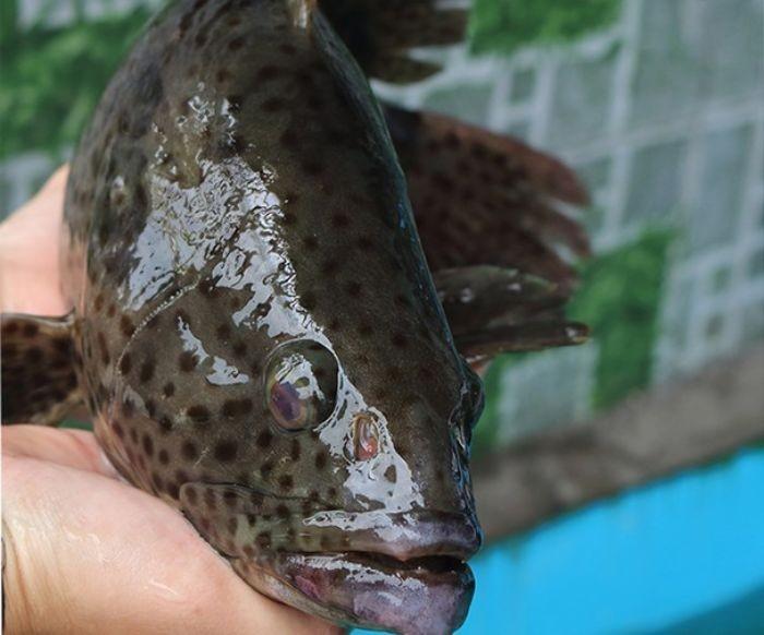Giá trị dinh dưỡng trong cá song được đánh giá rất cao