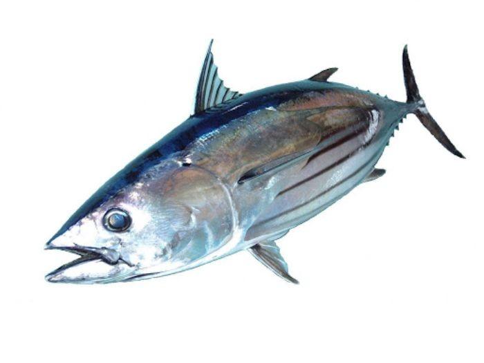 Cá ngừ sọc dưa có danh pháp khoa học là Sarda orientalis