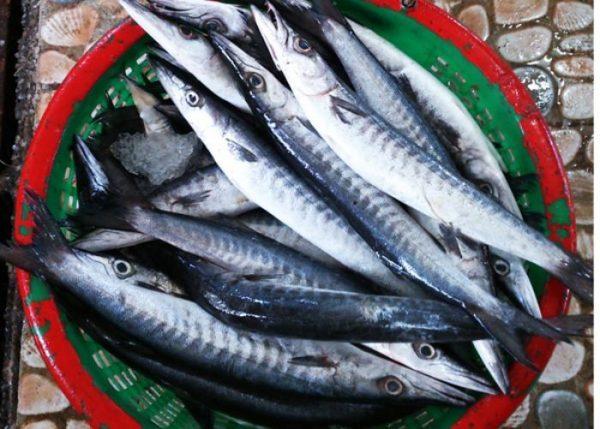 Cá nhồng là cá biển thuộc họ cá vược