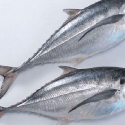 Cá sòng có nhiều nét tương đối giống với cá bạc má