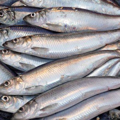 Cá trích mang một cái tên tiếng Anh là Sardinella