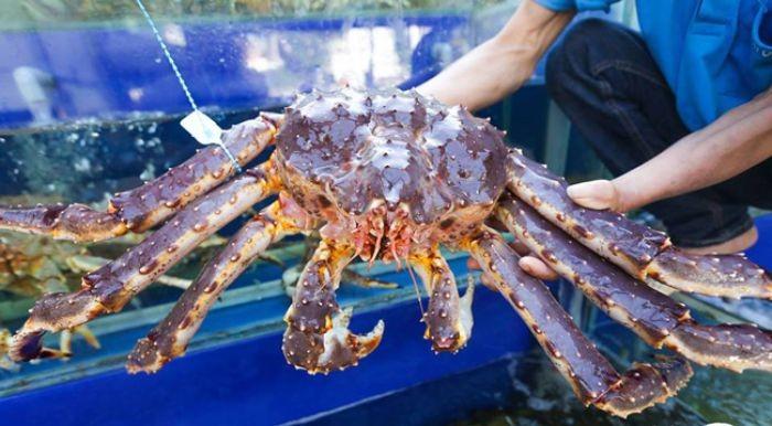 King Crab loài cua không chỉ có kích thước lớn mà nó còn có hương vị đặc biệt, béo ngậy, thịt cua thơm ngon, gạch chắc