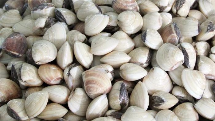 Ngao biển là loại động vật thân mềm hai mảnh vỏ thuộc họ Veneridae