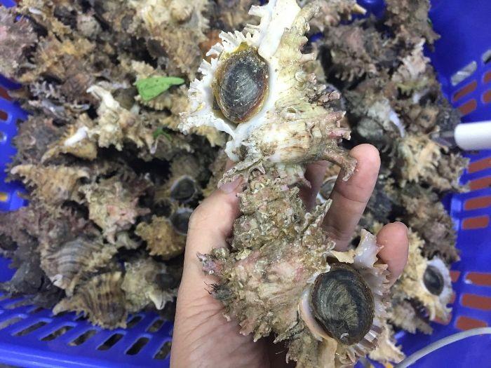 Ốc gai là một loại ốc biển có hình dáng lạ mắt, vỏ gồm nhiều gai nhọn tủa ra bên ngoài