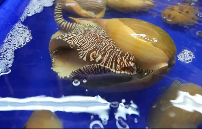 Thành phần axit béo có trong thịt ốc có tác dụng chống viêm sưng, phục hồi vết thương và nâng cao hệ miễn dịch