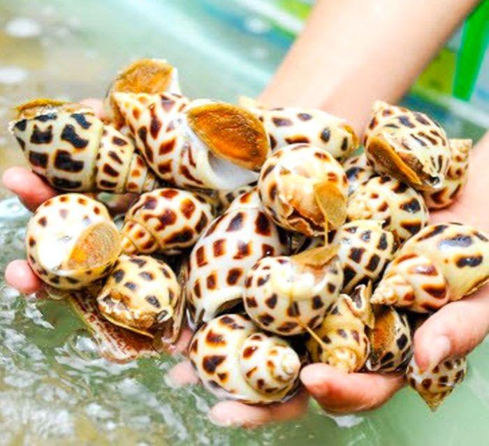Ốc hương nổi tiếng ngon và tươi nhất là được đánh bắt ở vùng biển từ Khánh Hòa đến Nam Bộ