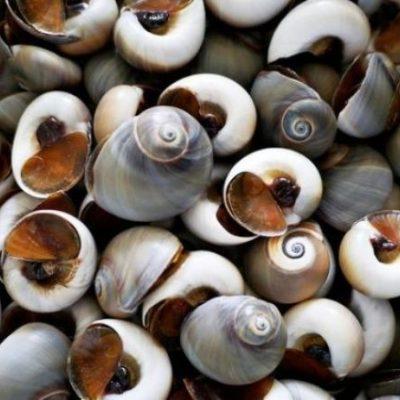 Ốc mỡ có danh pháp khoa học là Littorina littorea
