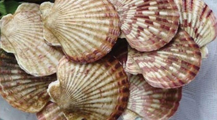 Loại sò này được biết đến là một vị thuốc trong Đông y và mang đến rất nhiều công dụng cho sức khỏe