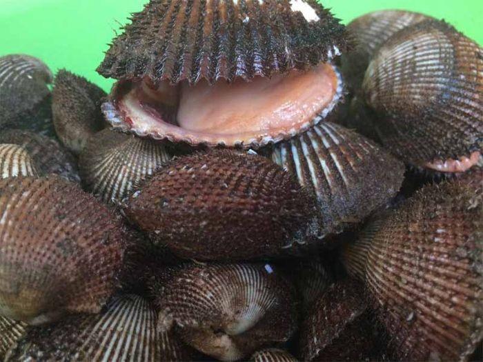 Loại sò này có ngoại hình gần giống với sò huyết nhưng kích thước lớn hơn