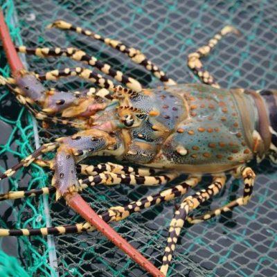 Loài tôm này sinh trưởng chủ yếu ở những vùng biển ấm, nước trong sạch