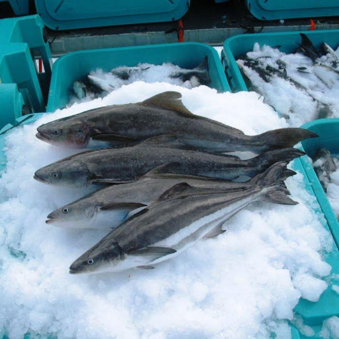Mua cá bớp tại Hải sản Trung Nam