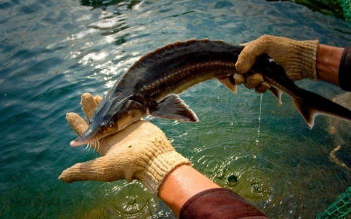 Không chỉ giàu dinh dưỡng, cá tầm còn rất thơm ngon và dễ chế biến