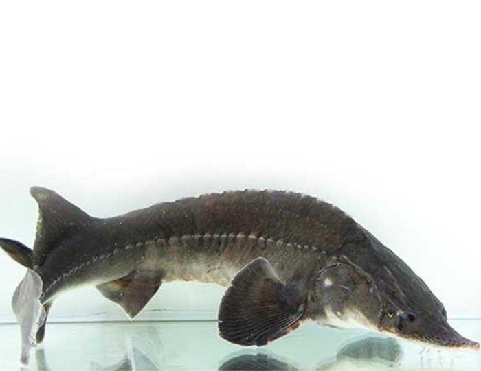 Địa chỉ bán cá tầm đảm bảo chất lượng