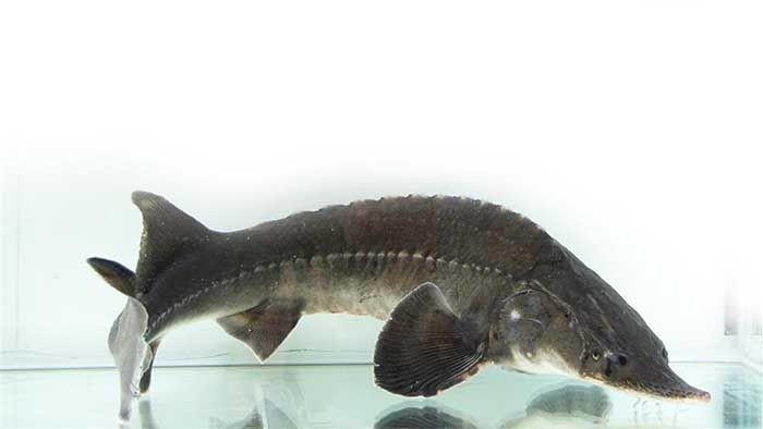 Thành phần axit béo của cá tầm có tác dụng chống viêm sưng, phục hồi vết thương và nâng cao hệ miễn dịch