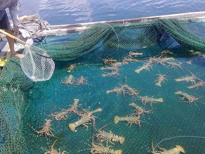Khánh Hòa là 1 trong những tỉnh có các vựa nuôi tôm hùm lớn tại Việt Nam