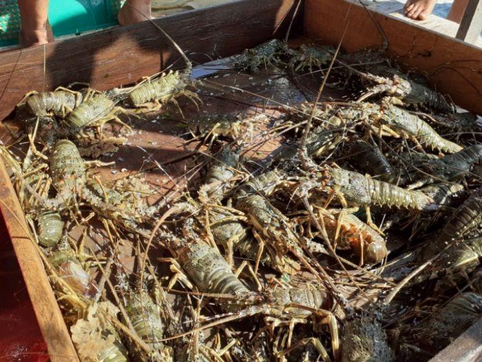 Hiện nay, tỉnh Bình Thuận đang tập trung và phát triển mô hình nuôi tôm hùm thương phẩm mới