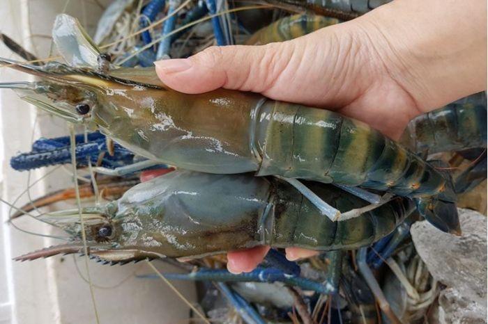 Hải sản Trung Nam cung cấp loại tôm tươi ngon nhất