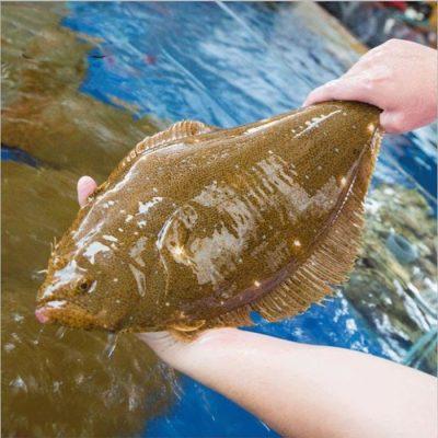 Cá Bơn Hàn Quốc thường sinh sống trong môi trường nước lạnh